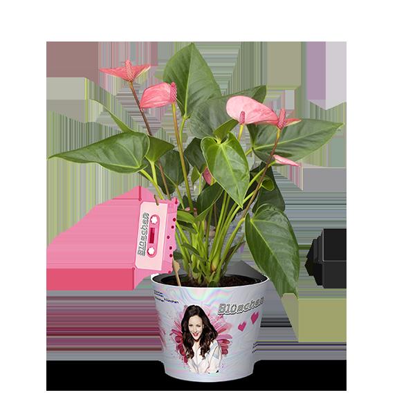 2er Set Blümchen´s Flamingoblume (Anthurium andreanum Sweet Dream) 1